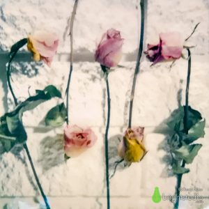 Dried Roses Up and Down - SX-70
